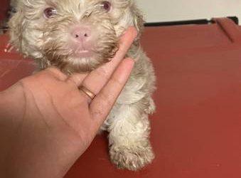 Male Poodle (Houston)