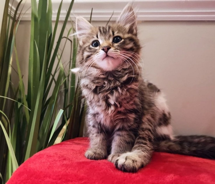 Family friendly maine coon kittens for sale