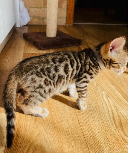 Perfect markings bengal kittens for sale