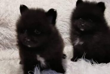 Adorable Pomeranian puppies ready to move into a new home. 516-366-5740