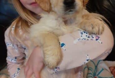 Great personalities golden retriever puppies