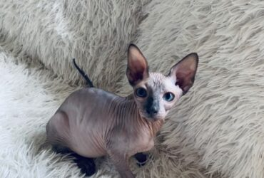 Sphynx and Bengal  kittens available..
