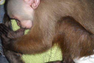 USDA registered Capuchin monkey's available