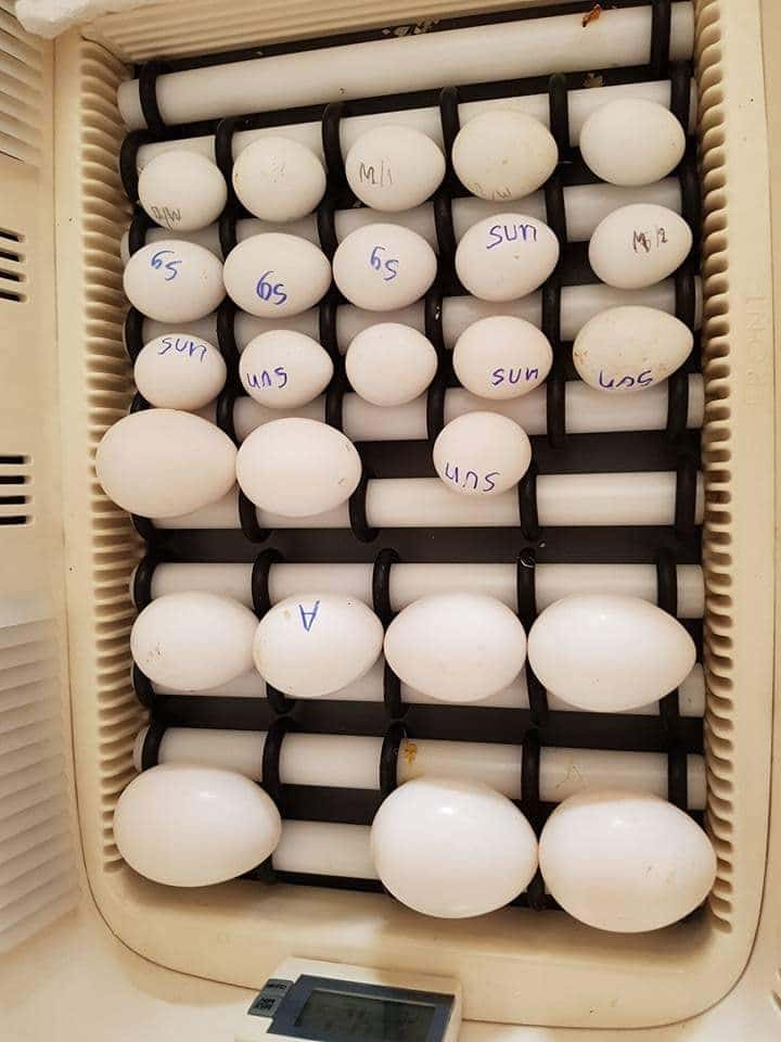 Parrot eggs for hatching from Europe.