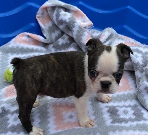 pick puppy Boston Terrier