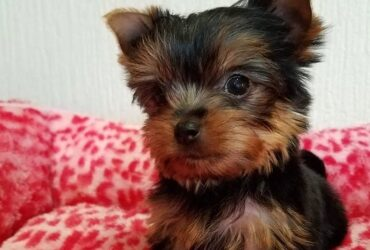 Yorkie and poodle Puppies for adoption