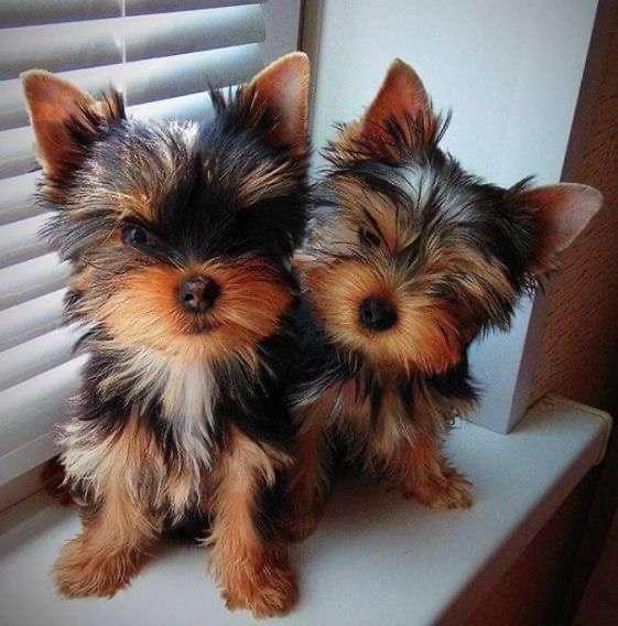 2 Beautiful Yorkie Puppies
