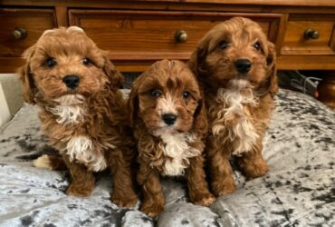 Lovely Cavapoos For sale