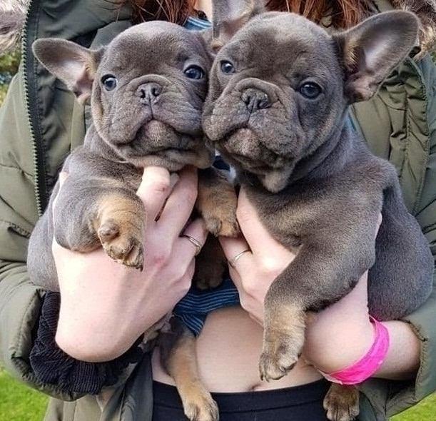 Perfect French Bulldog Puppies -blue- AKc Reg –