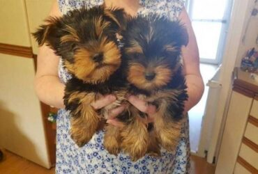 Yorkshire Terrier available
