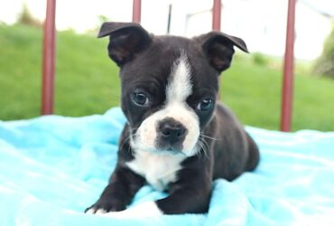 Compassionate Boston Terrier pups for sale
