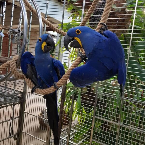 Tame Hyacinth Macaw Parrots Babies