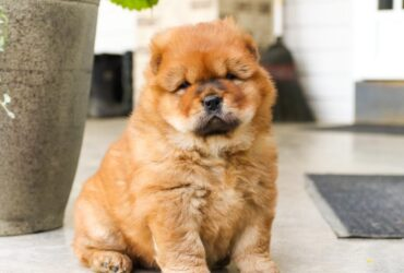 Marvelous Chow chow puppies for sale.