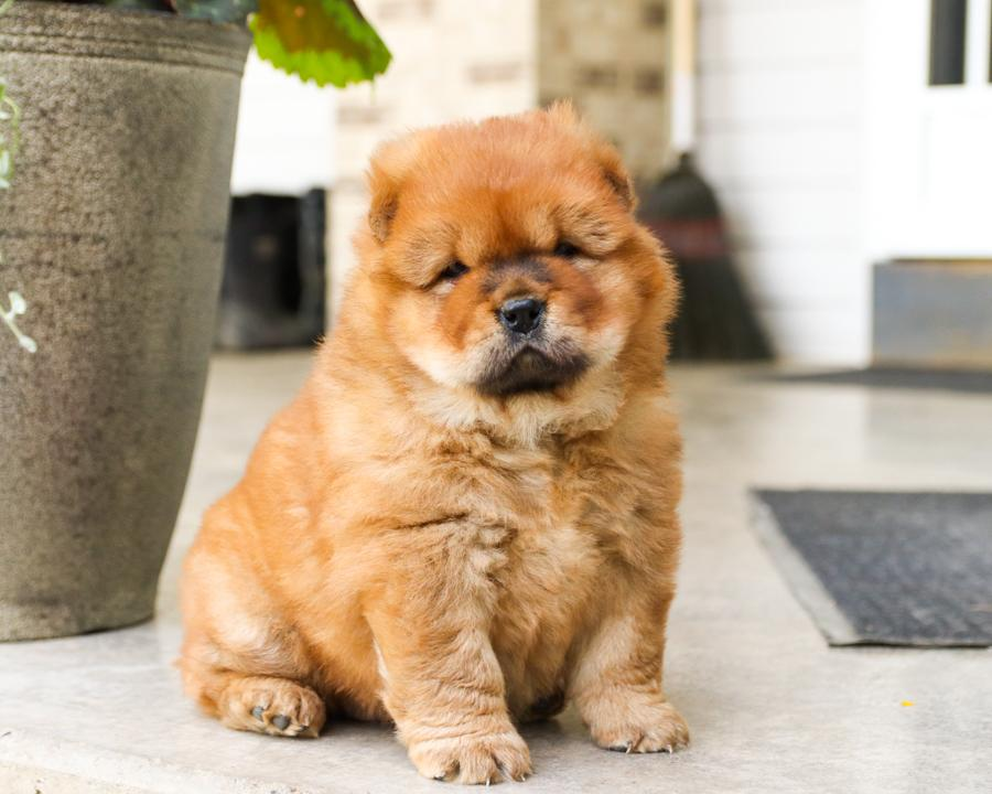 Marvelous Chow chow puppies for sale. AKC