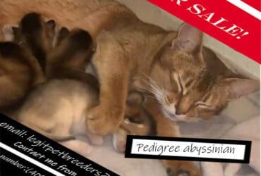 Pedigree abyssinian for sale now!