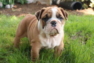 Marvelous registered English Bulldog pups for sale
