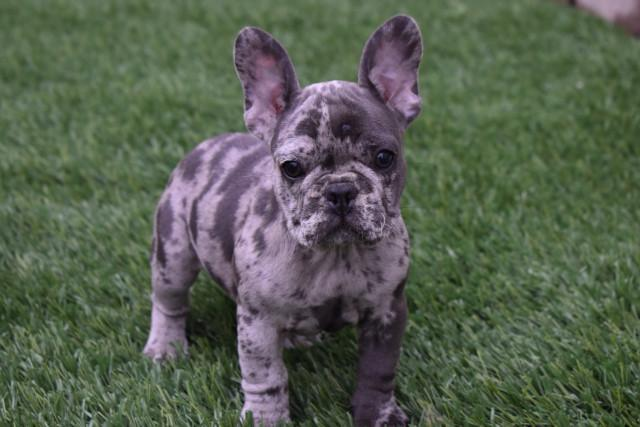 Amiable registered French Bulldog pups for sale