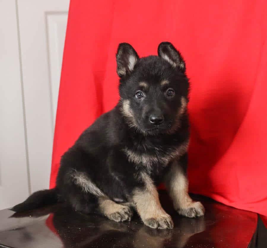 Registered German Shepherd pups for sale
