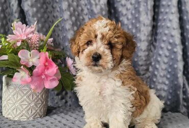 Vibrant toy Poodle puppies for sale
