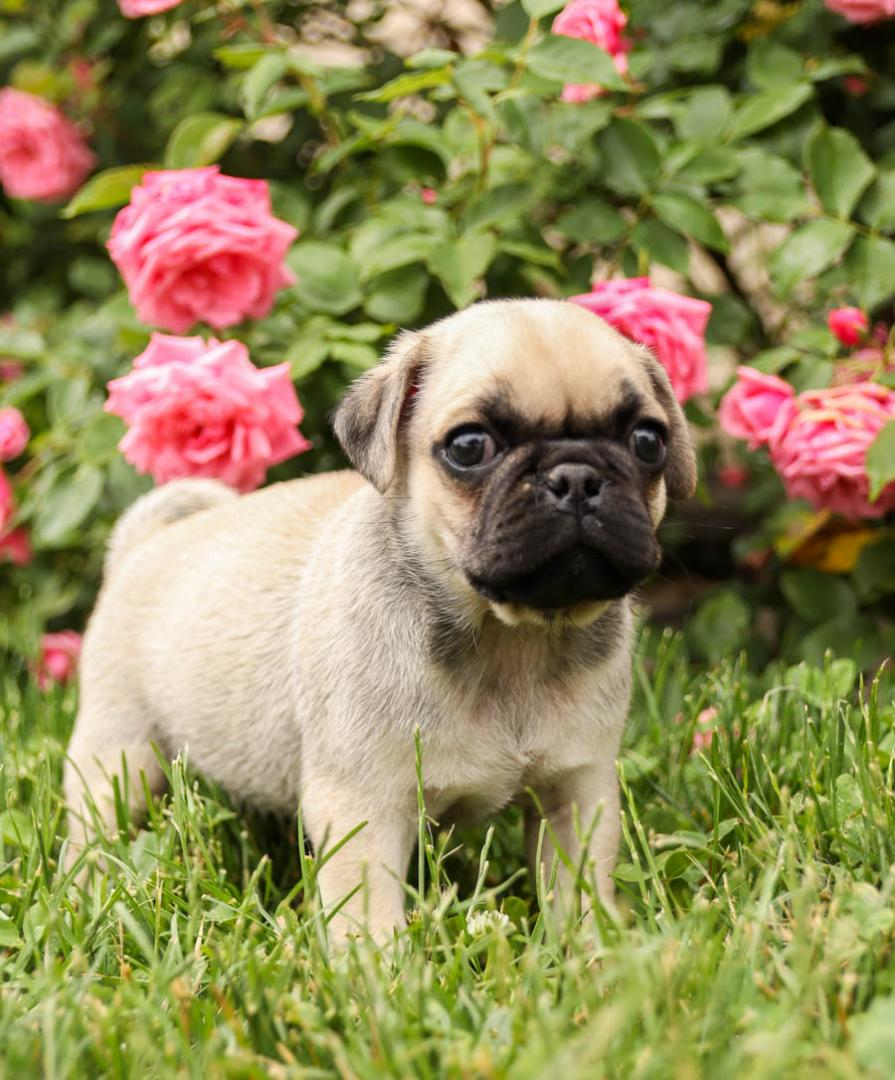 Considerate lovely Pug pups for sale