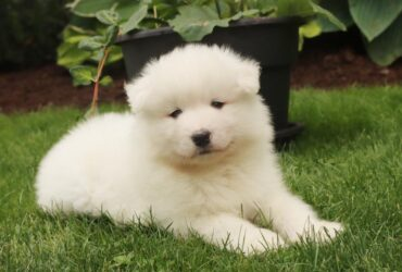 Perfect AKC Samoyed pups for sale