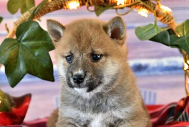 Courteous and lovely Shiba Inu pups for sale