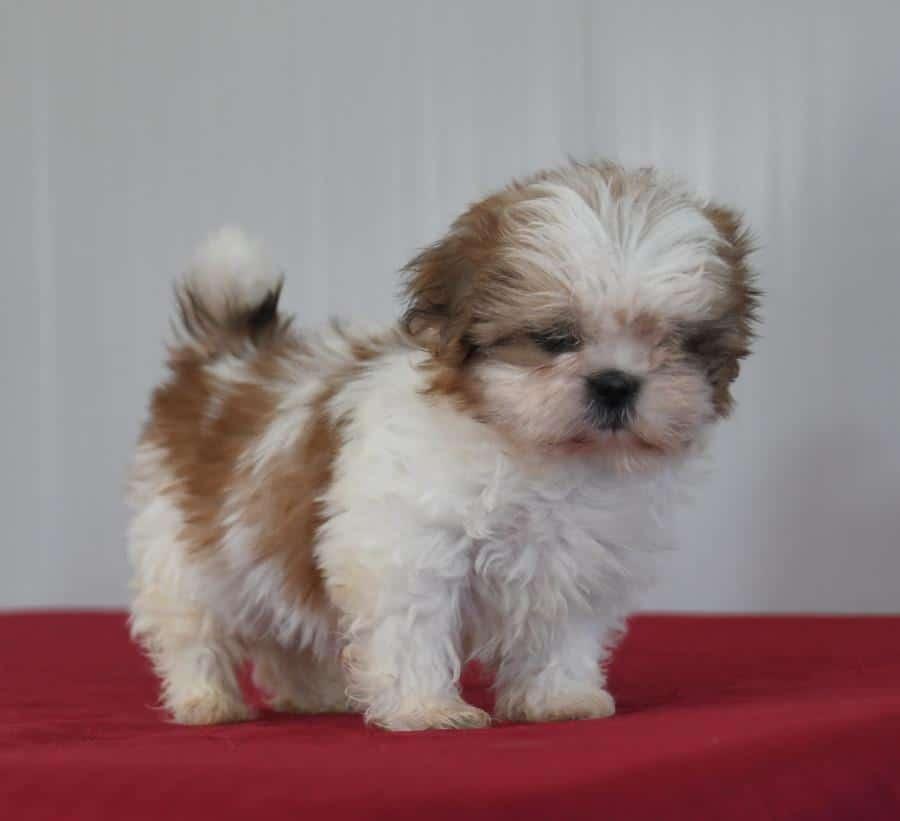 Beautiful Akc Shih Tzu pups for sale