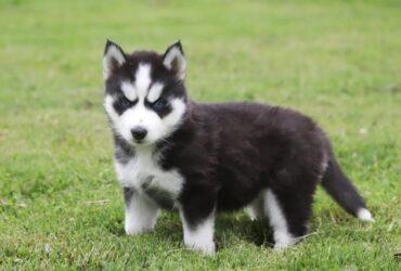 Adventurous Siberian Husky pups for sale