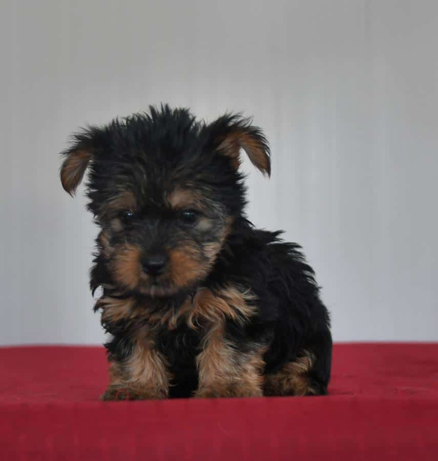 Adorable registered Yorkie pups for sale