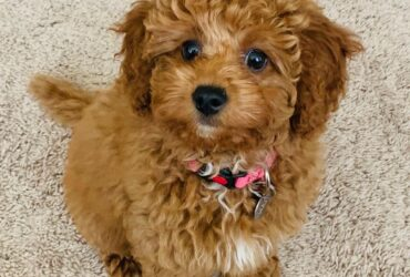Cute Cavapoo puppies for sale (240)394-8368