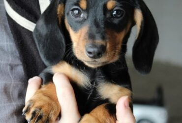 Dachshunds puppies available