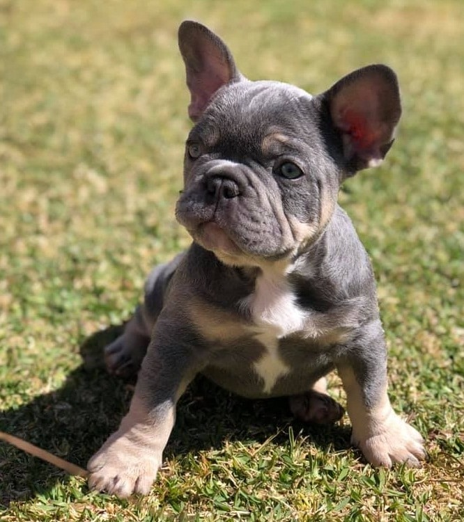 8 Beautiful Short Compact French Bulldogs