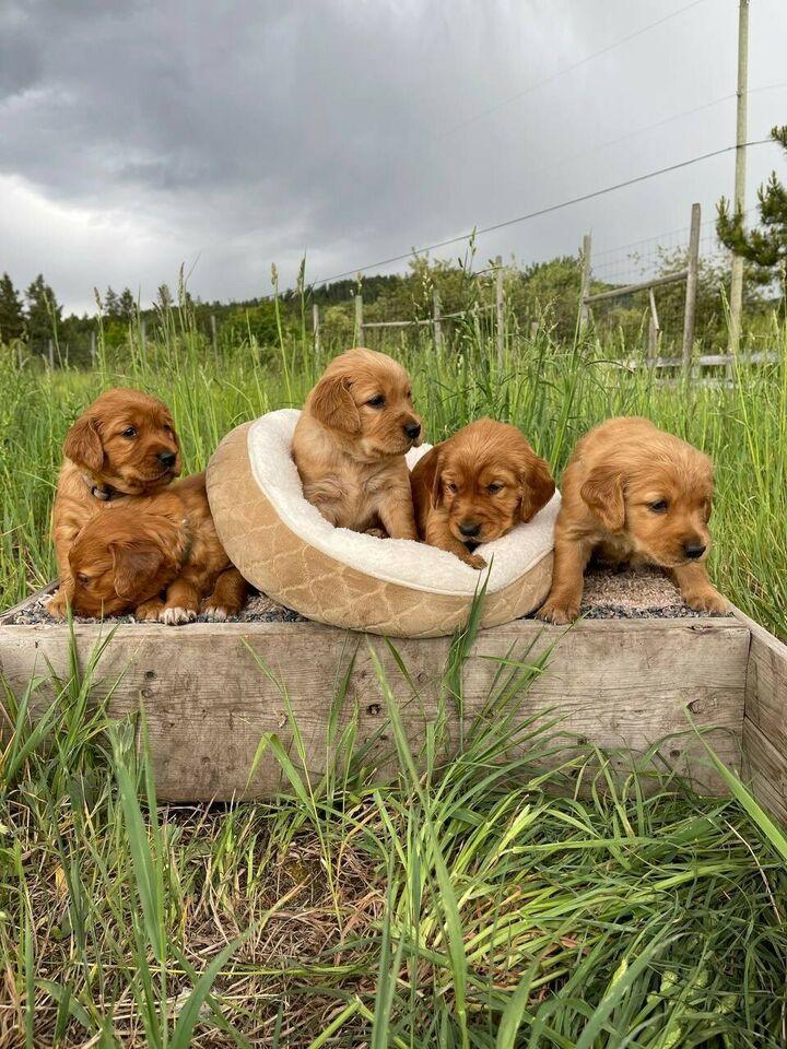 Golden Retriever Puppies ready to go