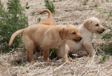 Labrador retriever Puppies available