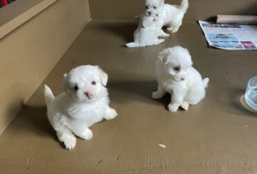 Gorgeous Teacup Maltese puppies Available