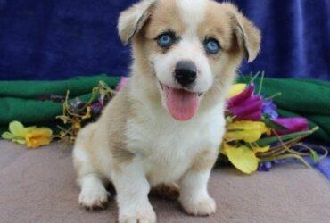 Purebred corgi puppies