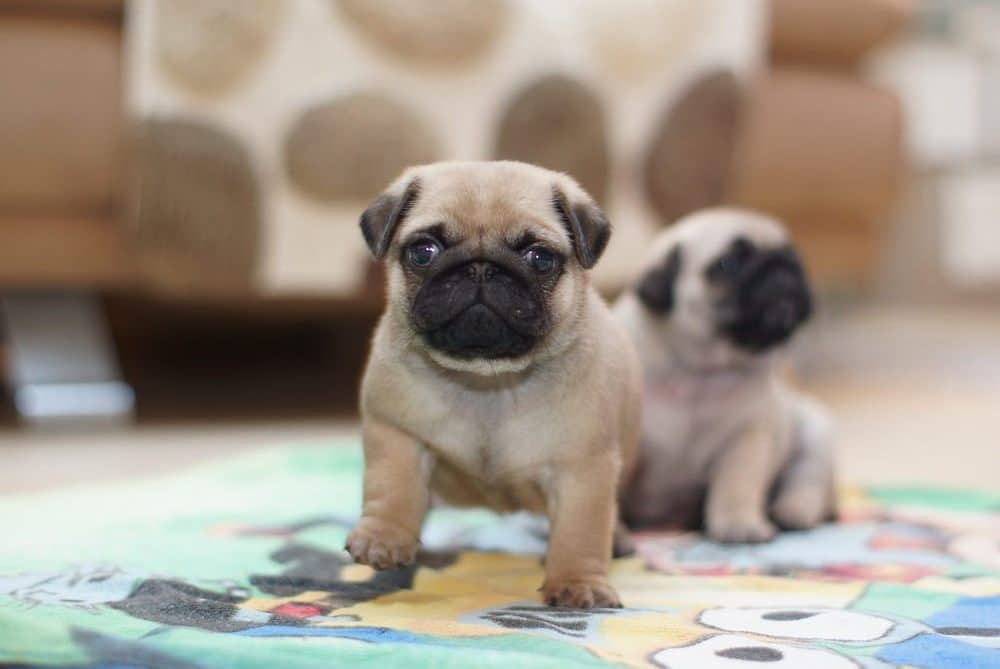 Home Raised Male and Female Pugs Puppies