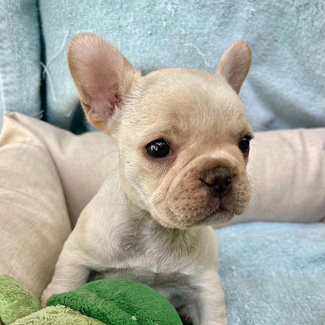 French Bulldog Available