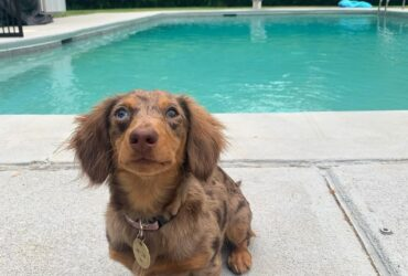 Dachshunds puppies for Rehoming