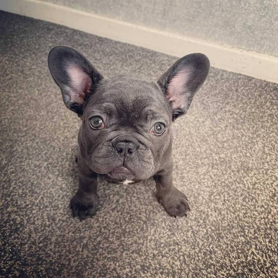 Lovely Frenchie