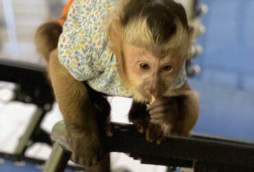 Lovely Capuchin Monkeys for Sale