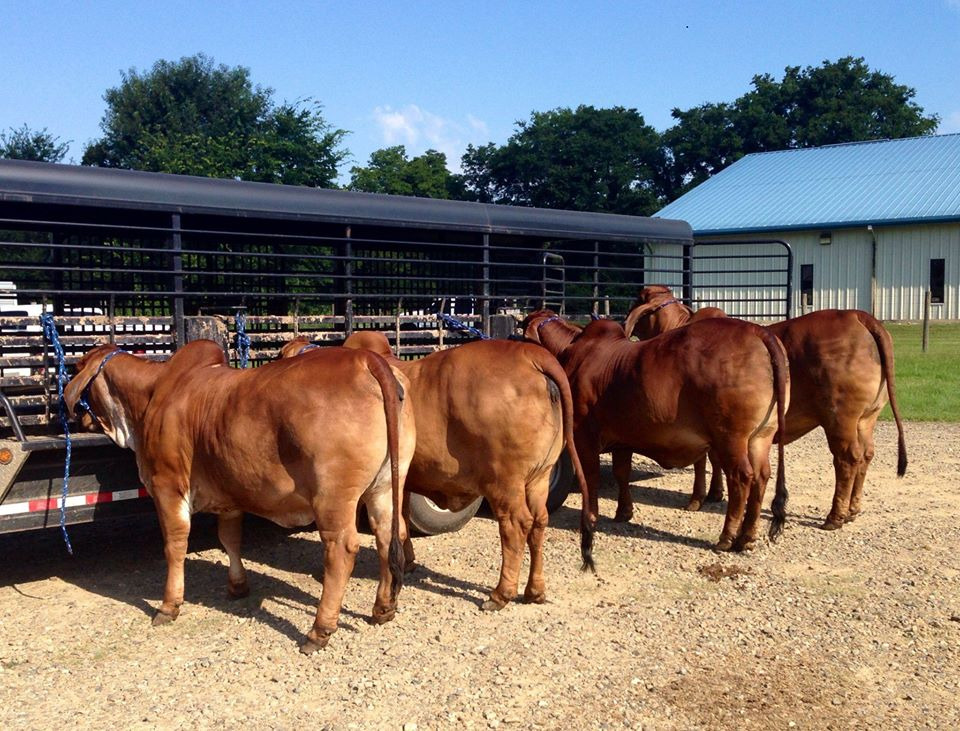 Private: Dairy cattle Jersey – Holsteins – Guernseys – Ayshire – and many other