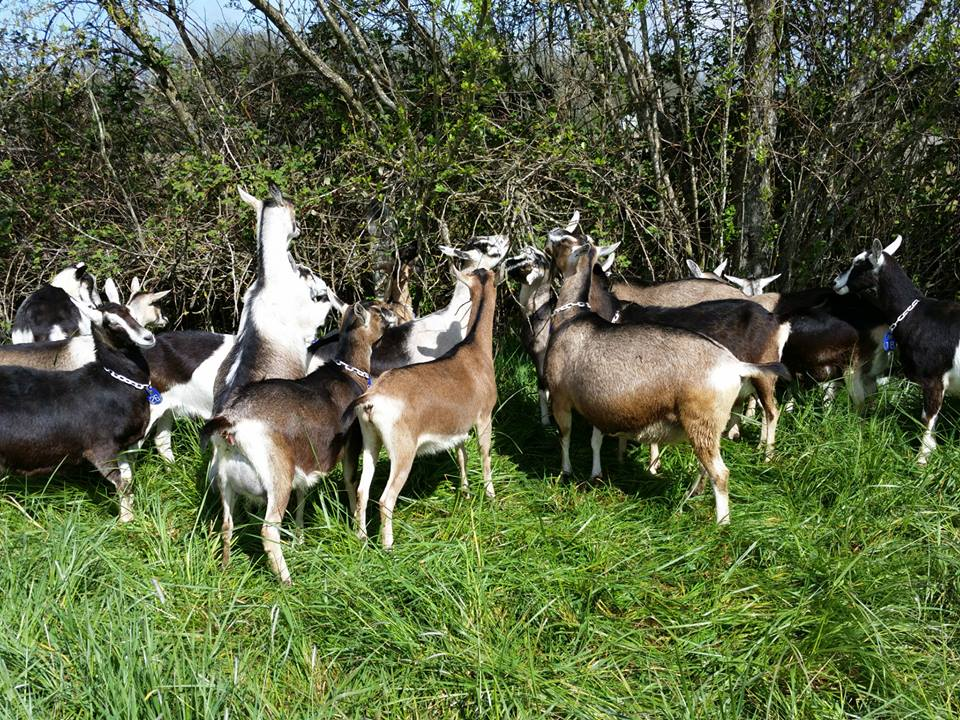 excellent dairy meat goats for sale