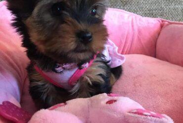 Rare Blue Eye Yorkshire Terrier Female Puppy HERSHEY