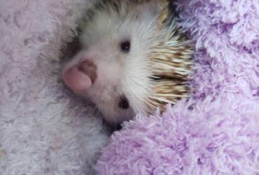 Hedgehogs & Sugar gliders Home