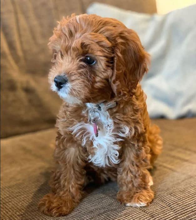Cavapoo Puppy for free adoption