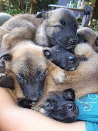 Belgian Malinois puppies for sales