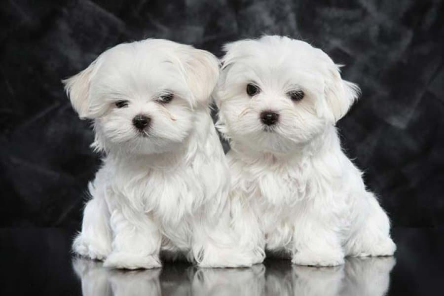 Top Quality Kc Tiny Teacup Maltese Puppies Available